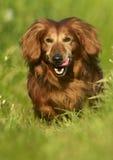 Running Longhair dachshund Stock Image