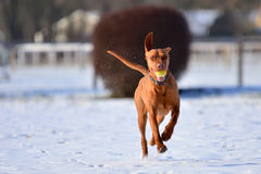 Running Magyar vizsla with a ball in its mouth royalty free stock photos