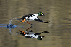 Running male Common goldeneye reflected in pond water surface. Stock Photo