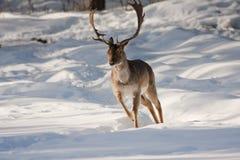 Running stag. Running male fallow deer or duma duma Royalty Free Stock Image