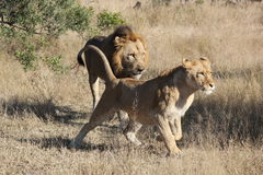 Running Male and Female Lion. Something catches the attention of a male and female lion, and they start running.  Located in Botswana, Africa Stock Image