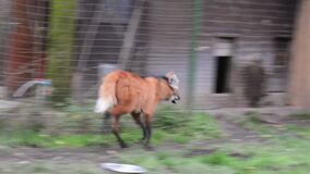 Maned wolf Chrysocyon brachyurus