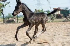 Running Marwari black colt in paddock. India Royalty Free Stock Image
