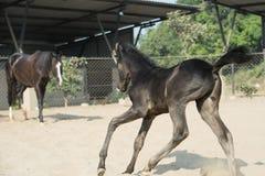 Running Marwari black colt in paddock. India.  Royalty Free Stock Photo