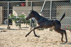 Running Marwari black colt in paddock. India Stock Photos