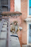 Running monkey in Kathmandu Stock Photography