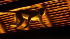 Running monkey slow motion royalty free stock image