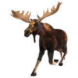 Running Moose. 3D digital render of a running moose (North America) or Eurasian elk (Europe), or Alces alces, isolated on white background stock illustration