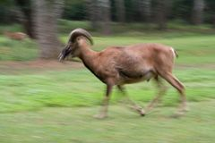 Running mouflon Royalty Free Stock Photos