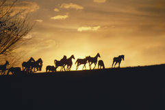 Running mustang horses at sunset royalty free stock photo