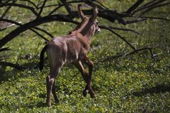 Running nile lechwe juvenile Royalty Free Stock Photos