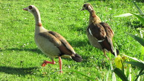 Running Nilegeese on green grass Stock Photography