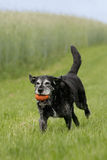 Running older dog. Portrait of an running and playing older blck dog Royalty Free Stock Image