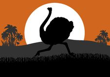 Running ostrich Stock Image