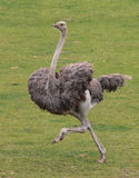 Running Ostrich Royalty Free Stock Photography