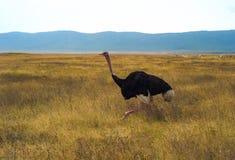 Running Ostrich in Ngorongoro Crater, Tanzania. Running Ostrich on a grassy plain in the Ngorongoro Crater, Tanzania royalty free stock photography