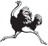 Running ostrich Royalty Free Stock Image