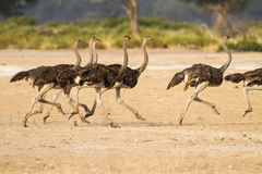 Running ostriches in Africa Stock Image