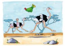 Running ostriches Stock Photos
