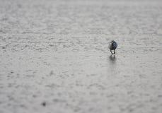 Running over the beach. A photo of a bird (alba calidris stock photo