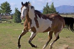Running Paint Horse Stock Image