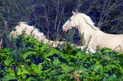 Running palomino horse and pony. freedom Stock Photography