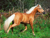 Running palomino horse and pony. freedom Royalty Free Stock Image