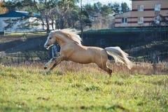 Running palomino welsh pony with long mane posing at freedom.  stock image