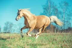 Running palomino welsh pony with long mane posing at freedom.  stock images