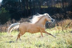 Running palomino welsh pony with long mane posing at freedom stock photography