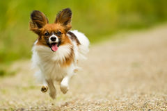 Running Papillon Dog Stock Photo