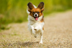 Running Papillon Dog Royalty Free Stock Photography