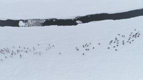 Running penguins group. Antarctica drone shot.
