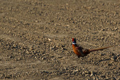Running pheasant Royalty Free Stock Images