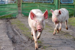 Running pig Stock Photo