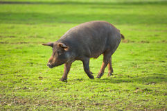 Running pig Stock Photography