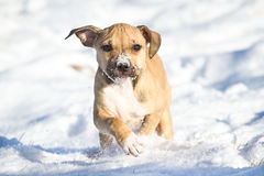 Running Pit Bull puppy in the snow Stock Photo
