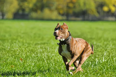 Running pitbull Royalty Free Stock Photos