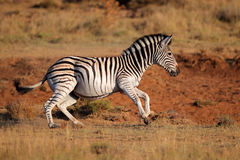 Running plains zebra Stock Photography