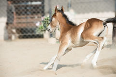 Running and playing Marwari chestnut colt in paddock. India Stock Photos