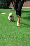 Running Pomeranian Puppy Stock Photography