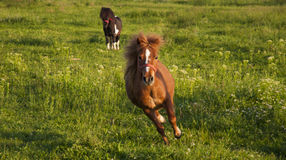 Running pony. Little pony gallopping on a meadow Royalty Free Stock Photography