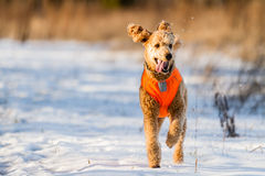 Running Poodle Stock Photography