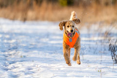 Running Poodle Stock Photo
