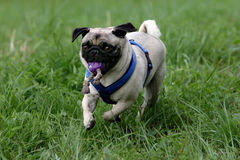 Running pug Stock Image