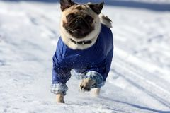 Running pug. Pug with jumper at a run Royalty Free Stock Image