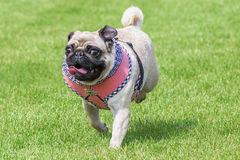 Running pug dog dirndl dress Stock Photos
