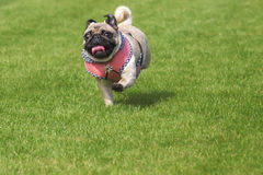 Running pug dog dirndl dress Royalty Free Stock Photography