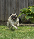 Running Pug Royalty Free Stock Images
