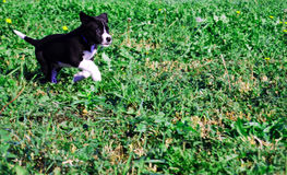 Running pup. Running playful lab border collie puppy Royalty Free Stock Photos